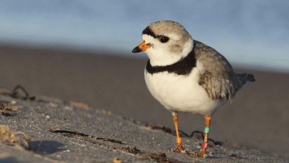 Great Lakes Piping Plover shorebirds